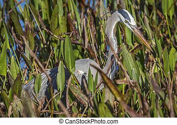 Great Blue Heron Stalking its Prey in a Marsh
