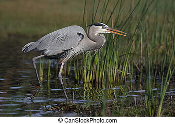 Great Blue Heron stalking its prey - Myakka River State Park, Florida