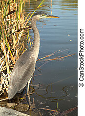 Great blue heron standing close to the water