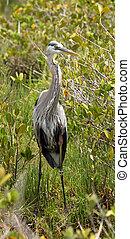 Great blue heron standing in a mangrove wetlands