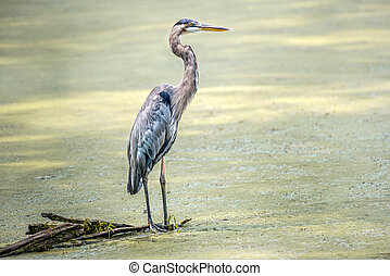Great Blue Heron standing in a marsh