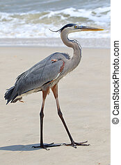 Great blue heron standing on a beach in Florida