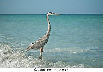 Great Blue Heron Standing on a Gulf Coast Beach