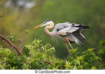 Great Blue Heron standing on a nest. It is the largest North American heron.
