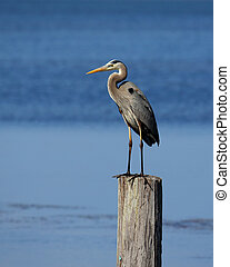 Great Blue Heron standing on a post in the ocean