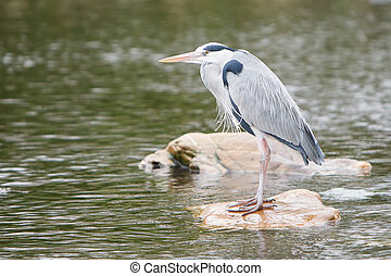 Great blue heron standing on a rock