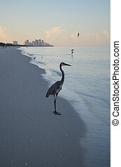 Great Blue Heron Standing on the Shore at Dawn
