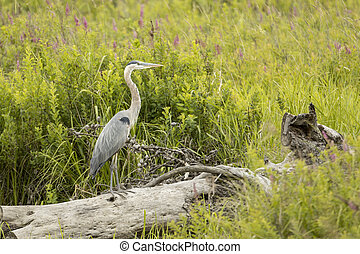Great Blue Heron stands on a log.