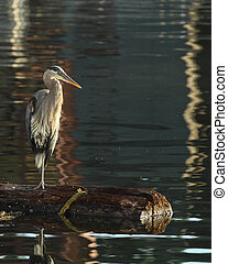 Great Blue Heron Stands On Log Hunting
