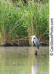 Great blue Heron on wooden pole in water