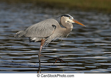 Great Blue Heron wading in a shallow Florida pond