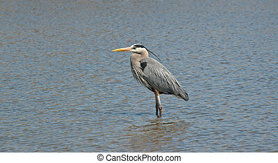 Great Blue Heron Wading in a Suburban Pond