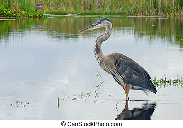 Great Blue Heron Wading in a Swamp