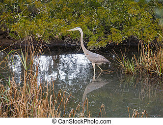 Great Blue Heron Wading in Pool