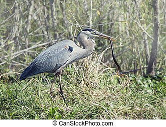 Great Blue Heron with a snake in its beak