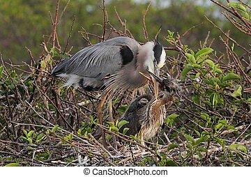 Great Blue Heron With Babies - Great Blue Heron (Ardea...