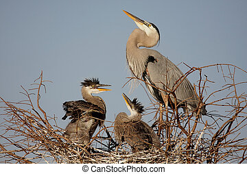 Great Blue Heron With Babies - Great Blue Heron (Ardea...