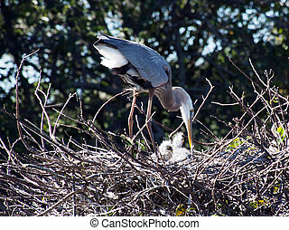 Great Blue Heron with Hatchlings in Nest