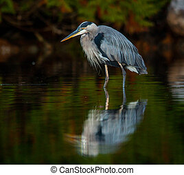 great blue heron with reflection - a single adult great blue...