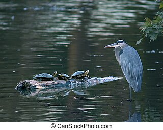 Great Blue Heron with Three Turtles in a Pond - A Great Blue...