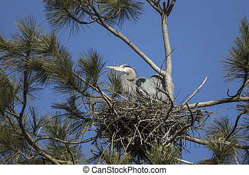 Great blue herons in a nest in north Idaho. - Great blue ...