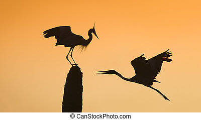 Great Blue Herons Silhouetted at Sunrise - Florida