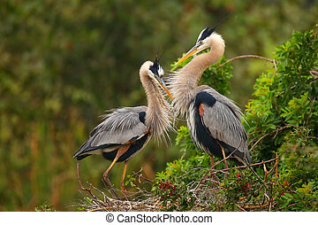Great Blue Herons standing in the nest. It is the largest...