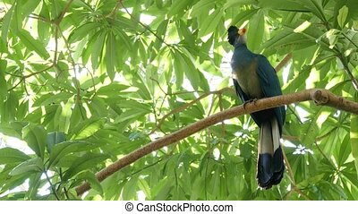 Great Blue Turaco in tropical rainforest. Exotic extraordinary african wild bird in green lush foliage. Colorful plumage of Musophagidae. Vivid vibrant feathers. Tree canopy in jungle paradise forest.