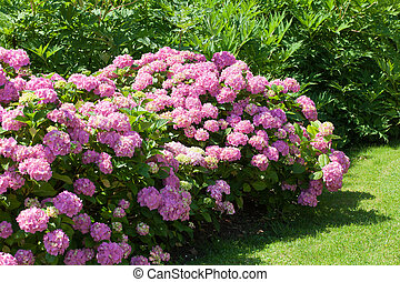 great  bush of pink flower hydrangea blooming in the garden
