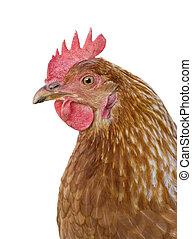 hen on white background