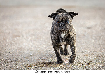 Small Breed Dog with a very interesting coat pattern runs straight at the camera.
