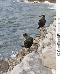 Great Cormorant Birds in Croatia