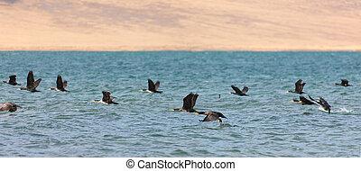 Great Cormorant Lake in northwestern Mongolia. Large flock ...