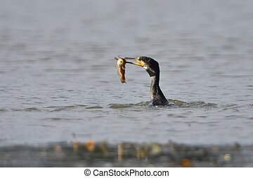 Great cormorant on a lake