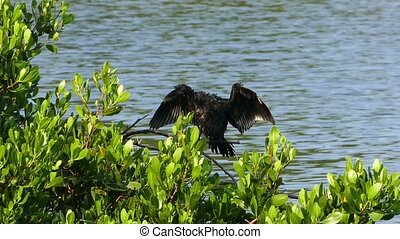 Great Cormorant on tree spreading its wings - Great...