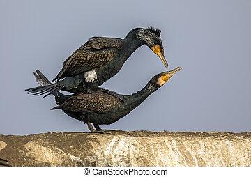 Great Cormorant pair mating