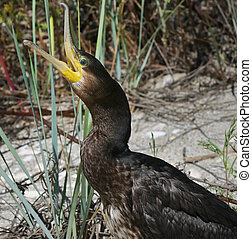 Great Cormorant Phalacrocorax Carbo on Beach - Great ...