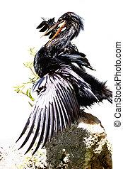 Great Cormorant - Rampant