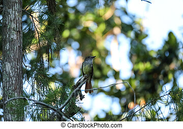 Great crested flycatcher bird Myiarchus crinitus perches in a tree