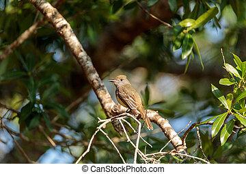 Great crested flycatcher bird Myiarchus crinitus