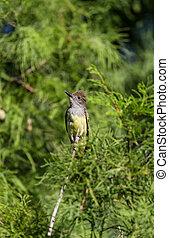 Great crested flycatcher Myiarchus crinitus bird