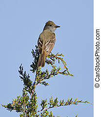 Great-crested Flycatcher perched in a red cedar tree