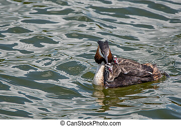 Great crested grebe or Podiceps cristatus
