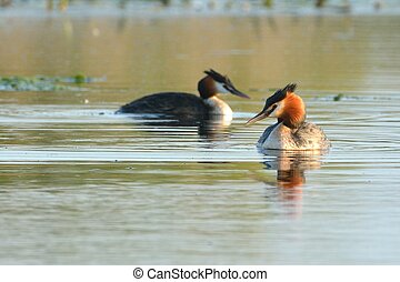 Great Crested Grebe Pair on Water