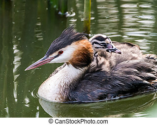 Great crested grebe (Podiceps cristatus) adult with juvenile on back, Netherlands