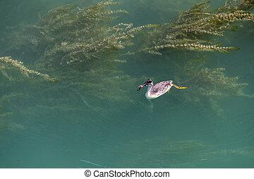 Great Crested Grebe (Podiceps cristatus) juvenile swimming in Lake Garda