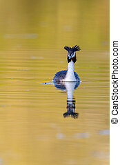 Great crested grebe (Podiceps cristatus) swimming on a lake in early morning light.