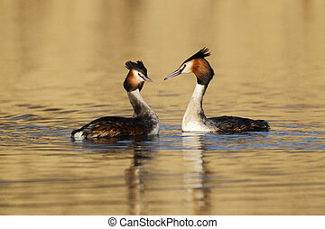 Great-crested grebe, Podiceps cristatus, two birds on water, Shropshire, March 2014