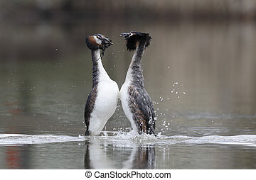 Great-crested grebe, Podiceps cristatus, two birds on water weed dance, Shropshire, March 2014