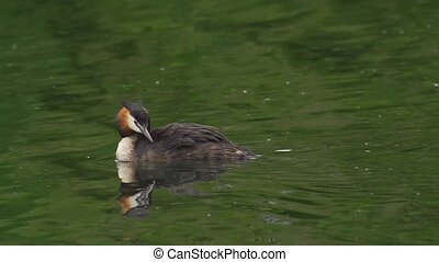 great crested grebe - Podiceps cris